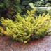 juniperus-chinensis-plumosa-aurea-06.jpg