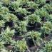 juniperus-horizontalis-glauca-09.jpg