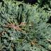 juniperus-horizontalis-glauca-10.jpg
