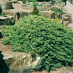 juniperus-procumbens-nana-01.jpg