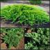 juniperus-sabina-rockery-gem-02.jpg