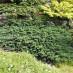 juniperus-sabina-rockery-gem-06.jpg