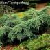 juniperus-squamata-blue-carpet-06.jpg