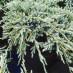 juniperus-squamata-blue-carpet-18.jpg