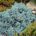 juniperus-squamata-blue-star-14.jpg