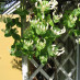 lonicera-caprifolium-04.jpg