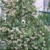 lonicera-caprifolium-06.jpg