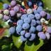 mahonia-aquifolium-04.jpg