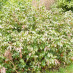 mahonia-aquifolium-apollo-02.jpg
