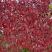 parthenocissus-quinquefolia-03.jpg