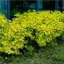 physocarpus-opulifolius-02.jpg