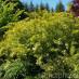 physocarpus-opulifolius-03.jpg