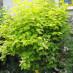 physocarpus-opulifolius-09.jpg