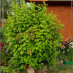 physocarpus-opulifolius-10.jpg