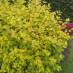 physocarpus-opulifolius-aureus-01.jpg