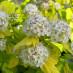 physocarpus-opulifolius-aureus-03.jpg