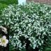potentilla-fruticosa-abbotswood-01.jpg