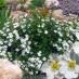 potentilla-fruticosa-abbotswood-07.jpg