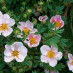 potentilla-fruticosa-princess-02.jpg