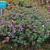 rhododendron-impeditum-01.jpg