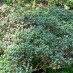 rhododendron-impeditum-02.jpg