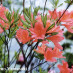 rhododendron-japonicum-03.jpg