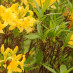 rhododendron-luteum-02.jpg