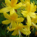rhododendron-luteum-03.jpg