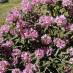rhododendron-smirnowii-05.jpg