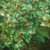 ribes-alpinum-schmidt-03.jpg
