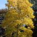 robinia-pseudoacacia-03.jpg