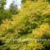 sambucus-aurea-04.jpg
