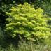 sambucus-aurea-06.jpg
