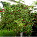 sambucus-racemosa-01.jpg