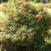 sambucus-racemosa-03.jpg