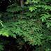 sambucus-racemosa-04.jpg