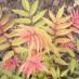 sorbaria-sorbifolia-12.jpg