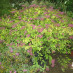 spiraea-bumalda-anthony-waterer-02.jpg
