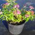 spiraea-bumalda-anthony-waterer-04.jpg