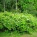 spiraea-chamaedryfolia-03.jpg