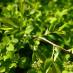 spiraea-chamaedryfolia-04.jpg