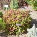 spiraea-japonica-little-princess-04.jpg