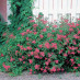 spiraea-japonica-little-princess-15.jpg