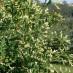 thuja-occidentalis-albospicata-02.jpg