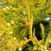 thuja-occidentalis-aureovariegata-04.jpg