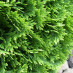 thuja-occidentalis-danica-10.jpg