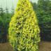 thuja-occidentalis-lutea-02.jpg