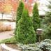 thuja-occidentalis-smaragd-01.jpg