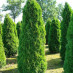 thuja-occidentalis-smaragd-06.jpg