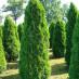thuja-occidentalis-smaragd-06.jpg
